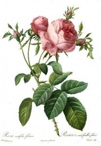 Rosa centifolia foliacea'' (Cabbage Rose) by Pierre-Joseph Redouté (1759–1840) in public domain.